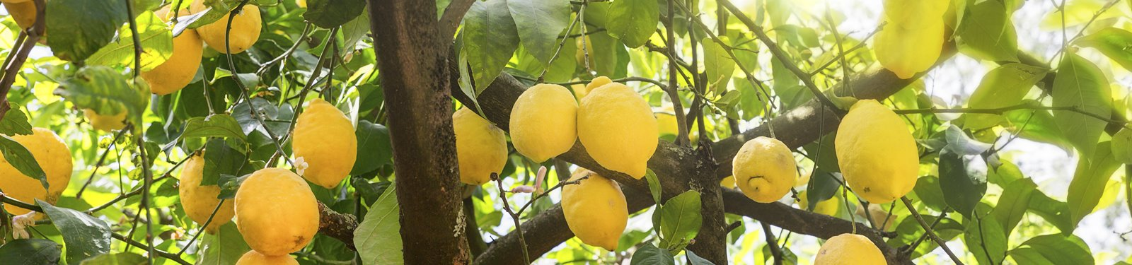 lemon-tree-grower-agf-foodware.jpg
